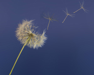Rubbing shoulders with death dandelion clock time passing.